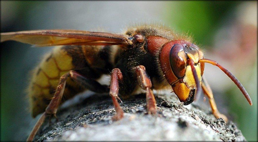 В Китае людей атакуют осы-убийцы.